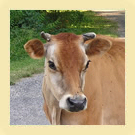 Guernsey Cow - &copy Jersey Ancestry
